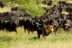 Buffaloes Scaring a Lion